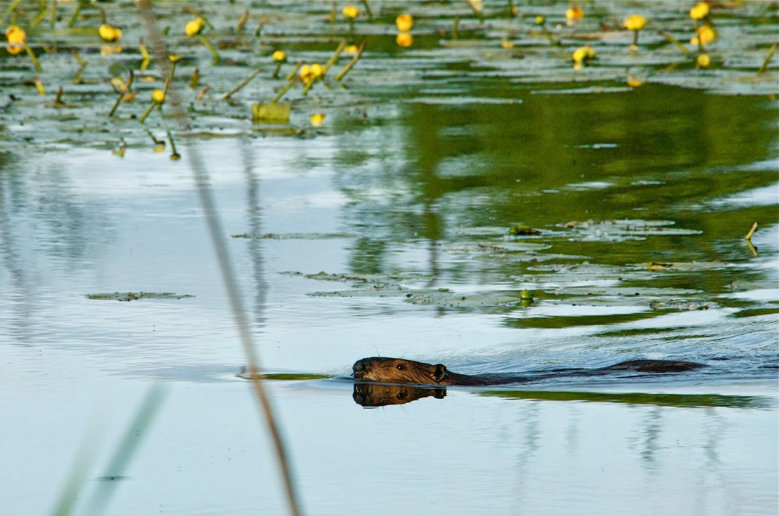 Cautious Beaver (Castor Canadensis)
