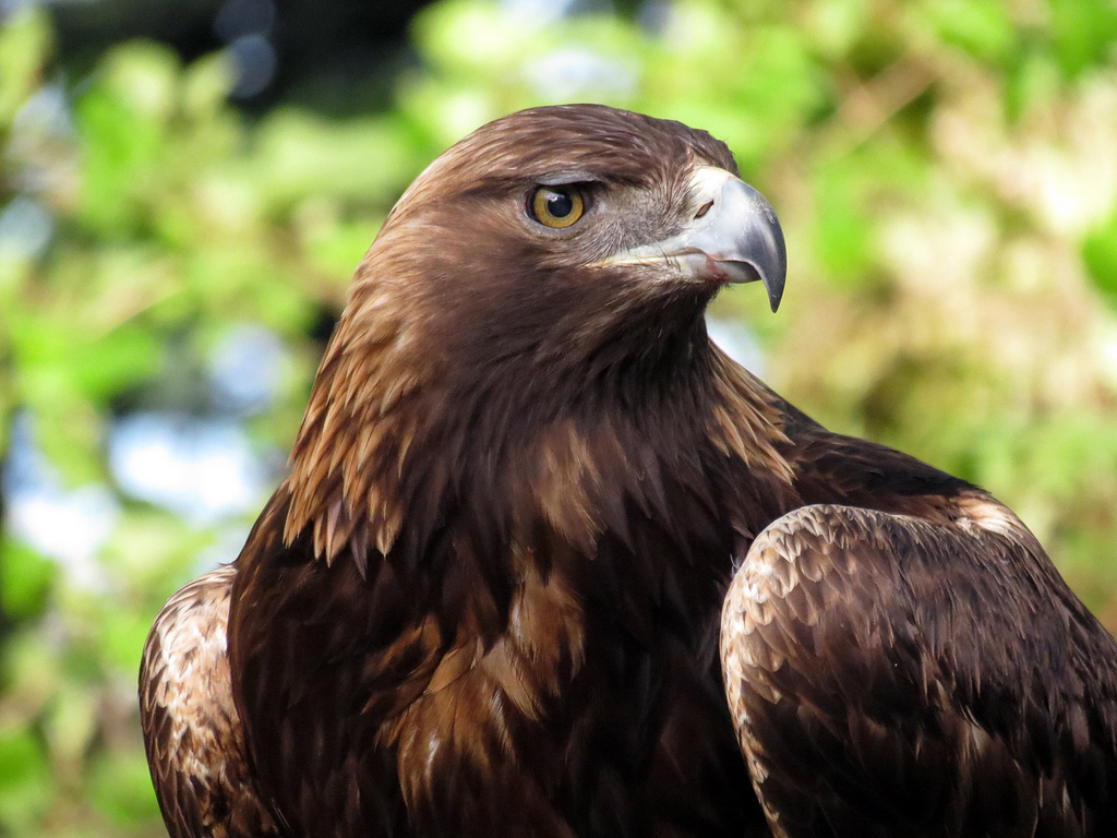 Nature Canada – Species Spotlight: Golden Eagle