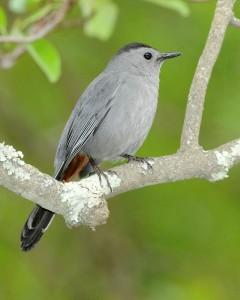 Gray Catbird.