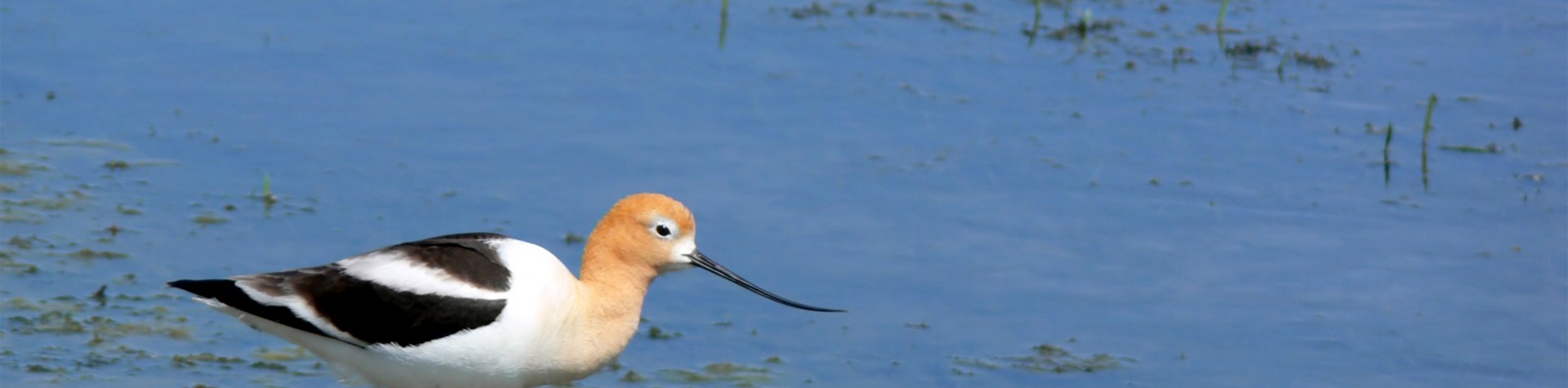 image of american avocet