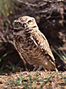 burrowing owl3