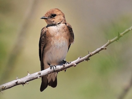 Nature Canada Bird Tweet Of The Week Northern Rough