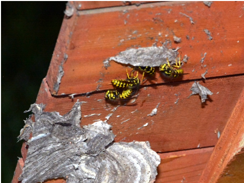 Dead Wasps on Wood
