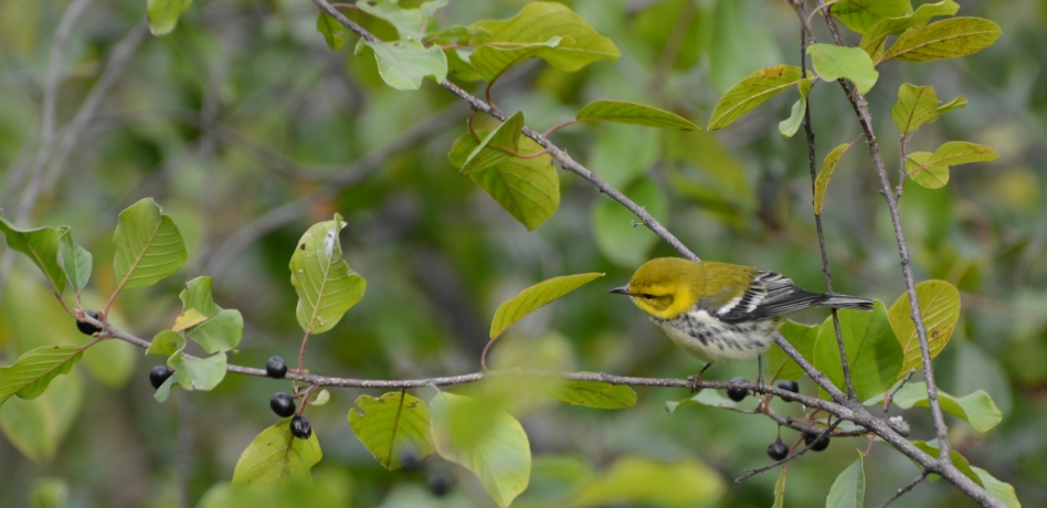 Photo of fall warbler
