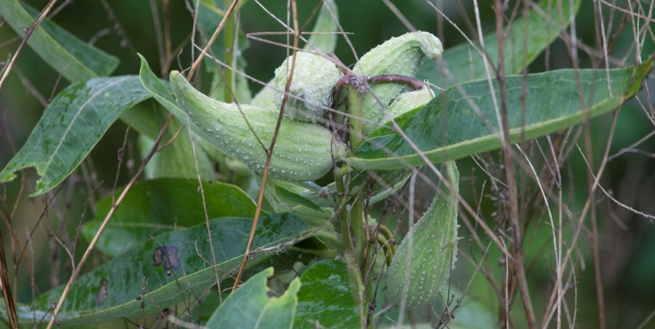 image of seed pods on a milkweed plant