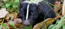 Nature at My Doorstep: Stinkin' cute skunks