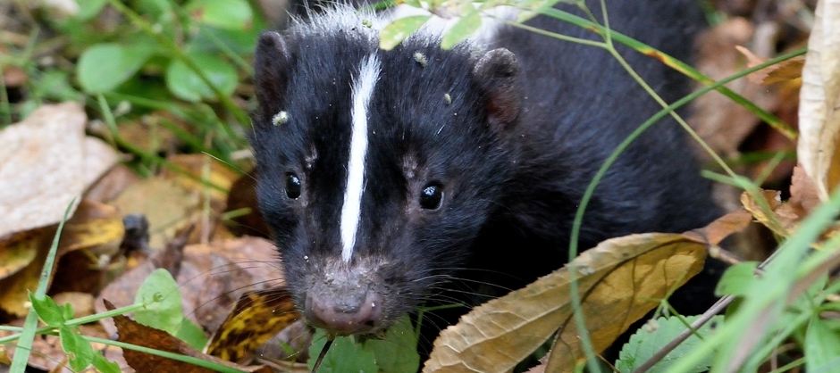 Image of a skunk looking
