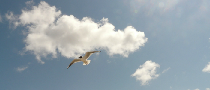 Image of a Black-headed Gull flying