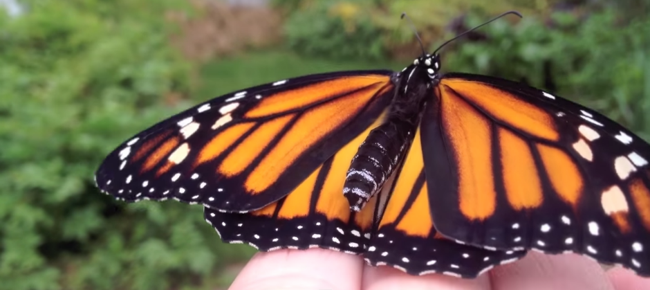 Fantastic video of a monarch butterfly emerging from its Chrysalis