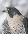 peregrine falcon_iStock