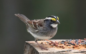 photo white throated Sparrow