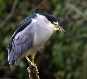 photo black-capped night-heron