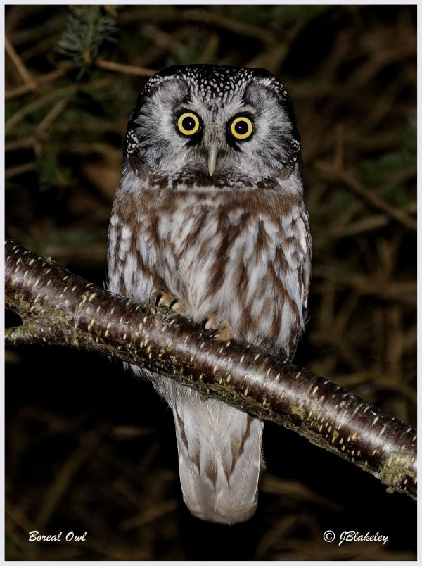 Image of a Boreal Owl