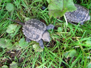 photo of young snapping turtle.