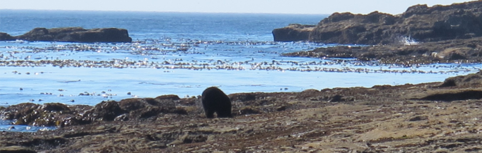 Image of a bear on a beach