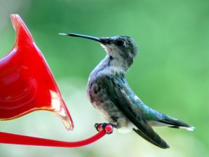 Image of a Hummingbird by Shauna Stevens