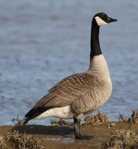 photo canada goose