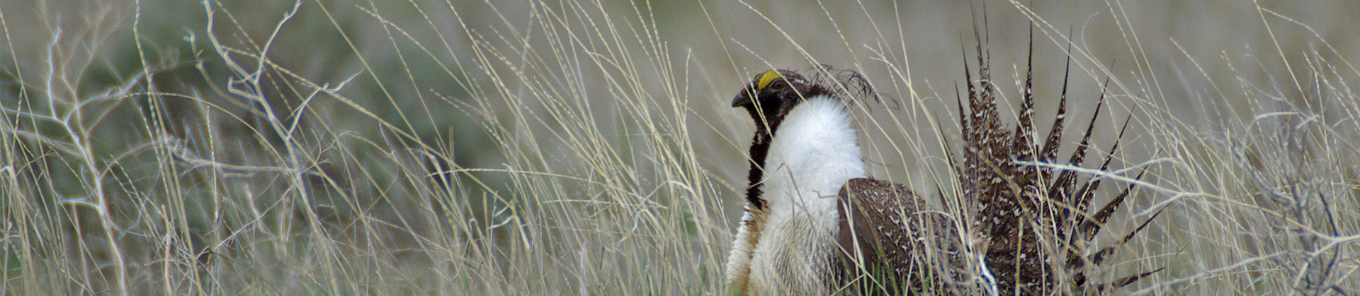 slider-sage-grouse