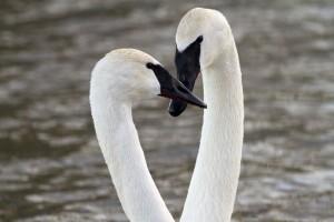 photo trumpeter swan