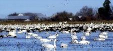 Birds and Climate: Swans Move North