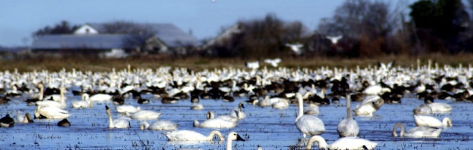 Image of a swan gathering