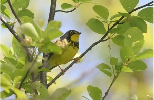 Photo of a Canada Warbler