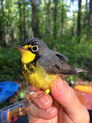 Photo of a Canada Warbler with bands