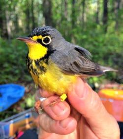 canada-warbler-2015