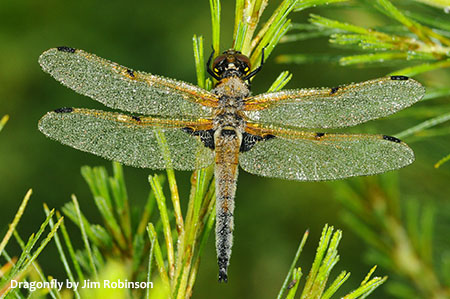 Image of a Dragonfly