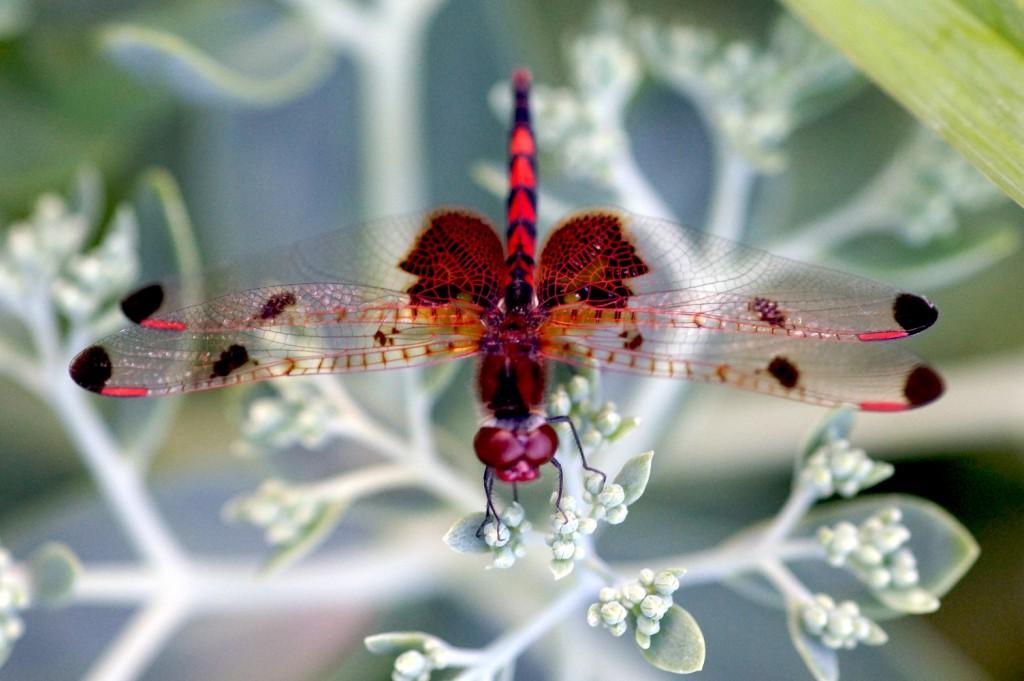 Dragonfly - Elaine Uskowski
