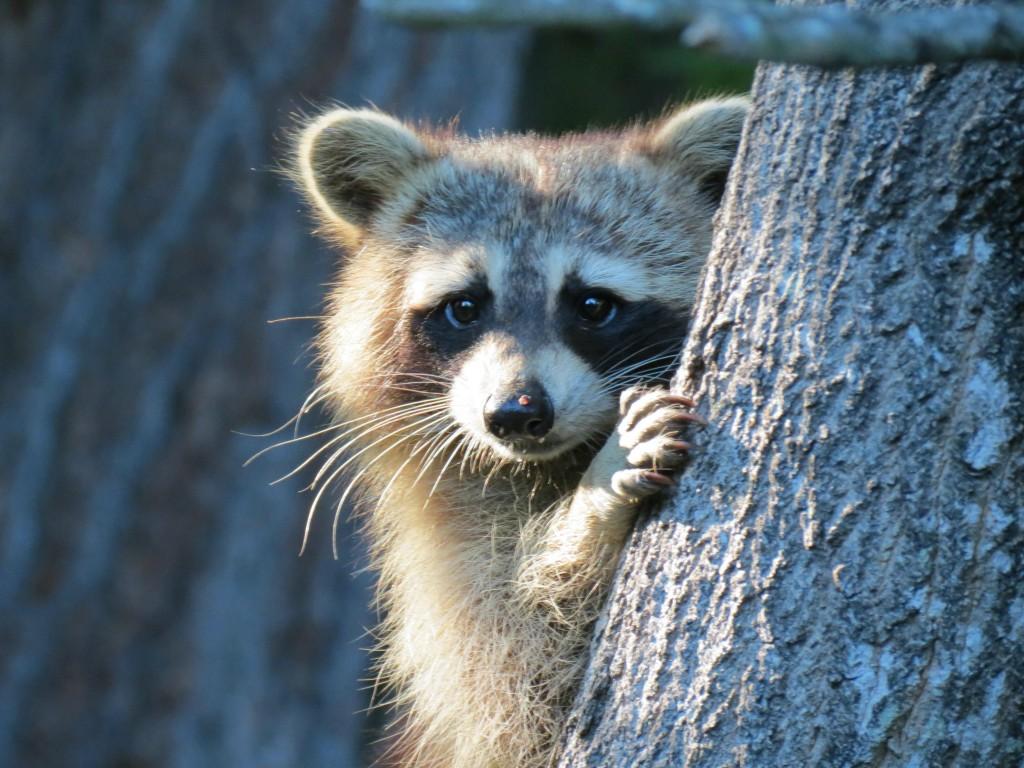 Raccoon by Debbie OGrady