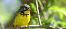 The Canada Warbler