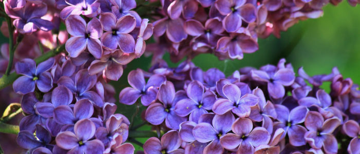 Image of lilacs