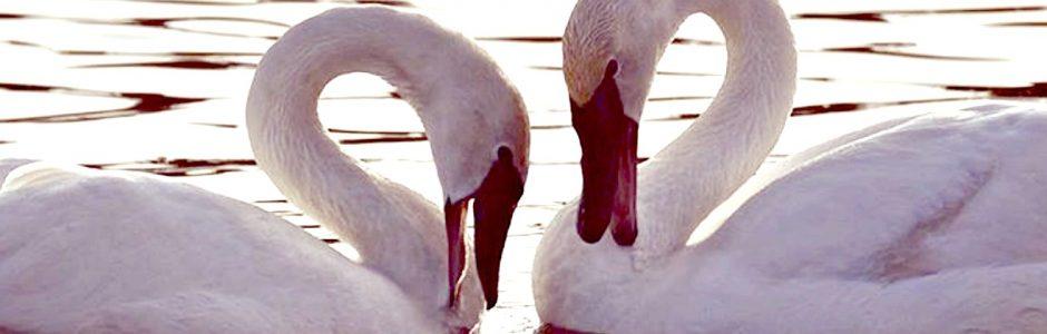 swans-header