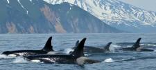 Species spotlight: Orca