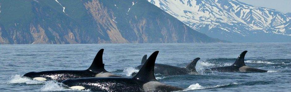 Image of a group of orcas