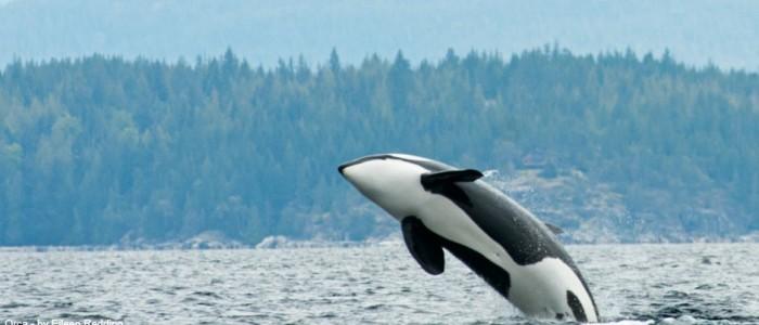photo of an orca