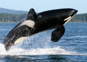 Photo of an Orca