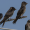 Welcome Back Purple Martins!