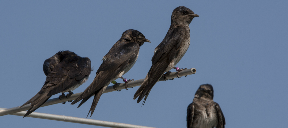 Tagged Purple Martins