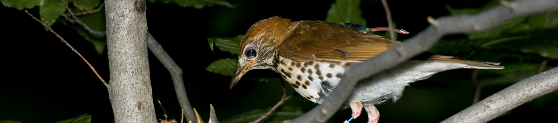Wood thrush header
