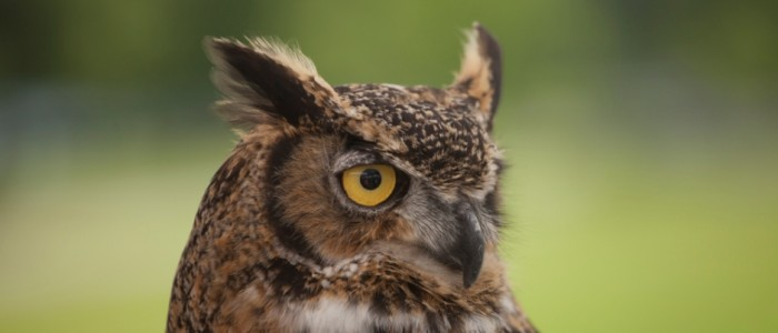 photo of a great horned owl