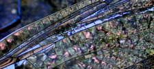 Variable Darner Dragonfly: What Makes Them Good Predators?