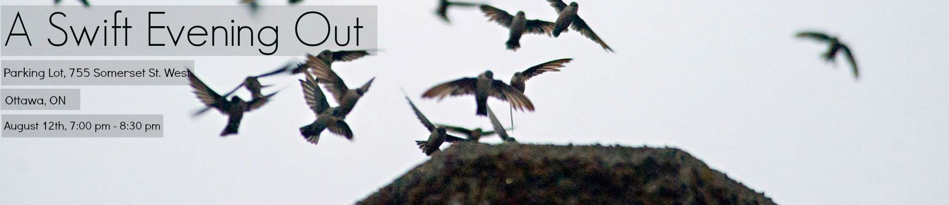 Chimney Swifts enter their roost