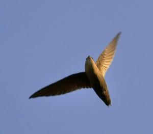 Chimney Siwft in flight (Jim McCulloch)