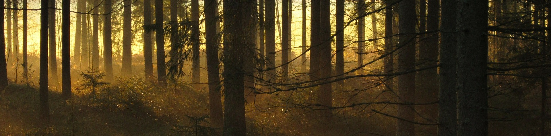Image of sun coming into a spruce forest