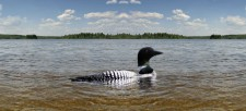 The Common Loon: What are they saying?