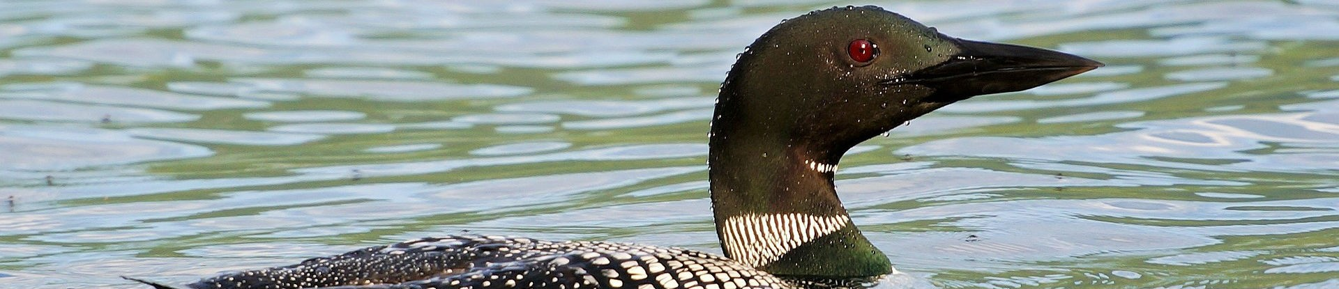 Image of a common loon