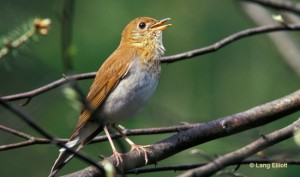 A veery by Lang Elliott