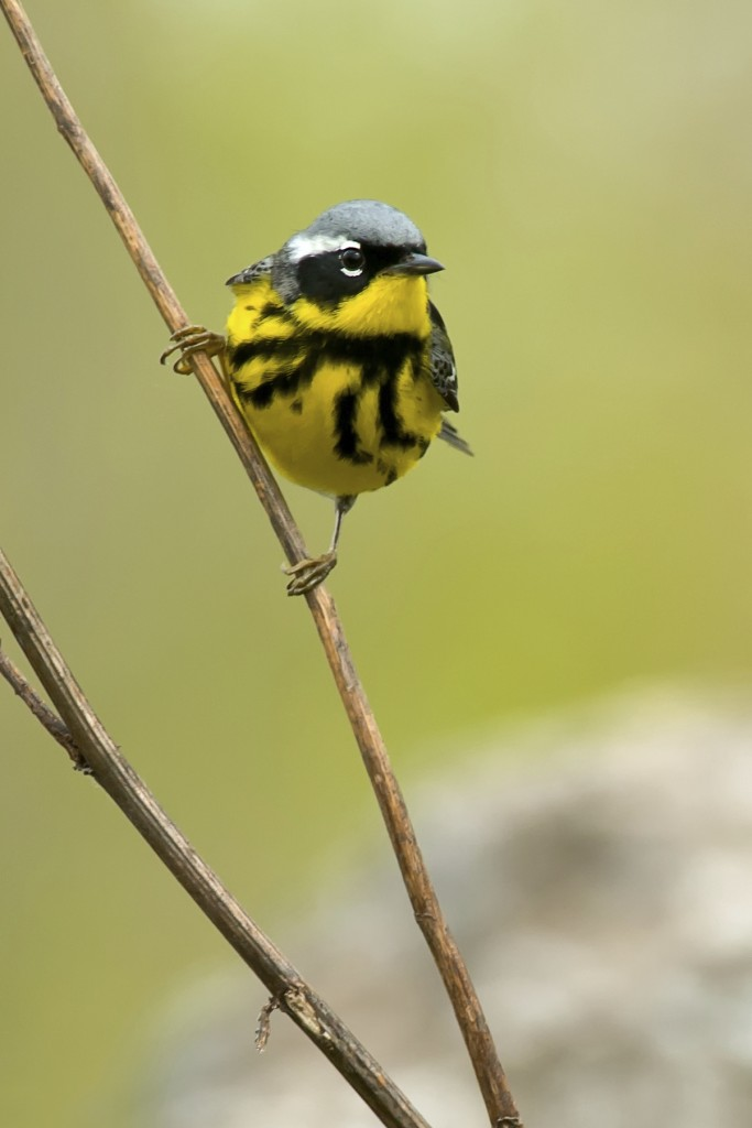 Magnolia Warbler, birds, perch